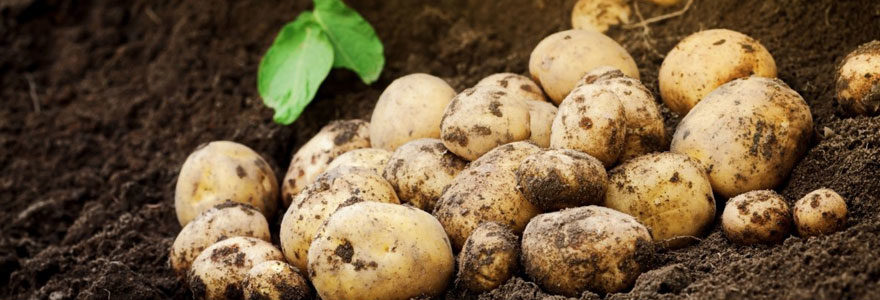 Plant de pomme de terre